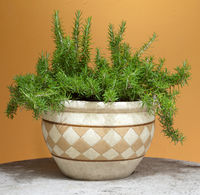 rosemary in a terracotta pot
