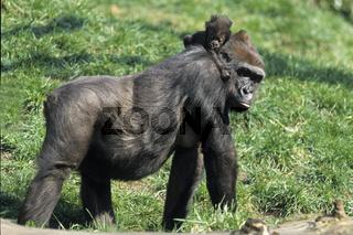 Gorilla, Flachlandgorilla