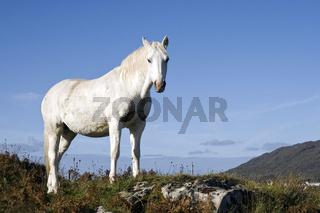 Connemara-Pony, Irland