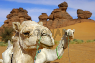 Mehari Dromedar der Tuareg mit Nasenring