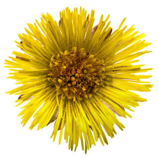 Flower of foalfoot (Tussilago farfara),  isolated on white background