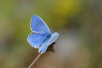 Male Common Blue Butterfly, Polyommatus icarus, Hauhechel Bläuling