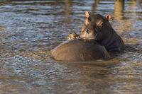 Hippo (Hippopotamus amphibius),juvenile
