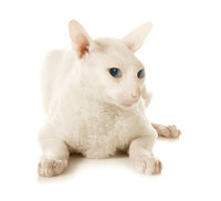 A sad white cat