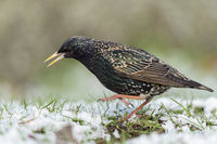 cold feet... Common Starling *Sturnus vulgaris*