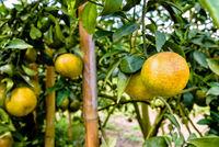 Ripe orange fruit on the tree