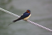 Barn swallow on a mooring line