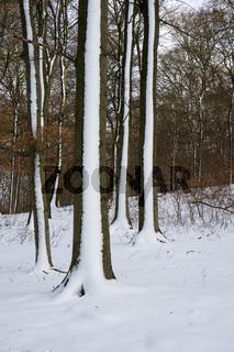 Buchenwald im Winter