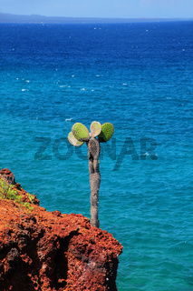 Galapagos prickly pear on a cliff of Rabida Island in Galapagos National Park, Ecuador