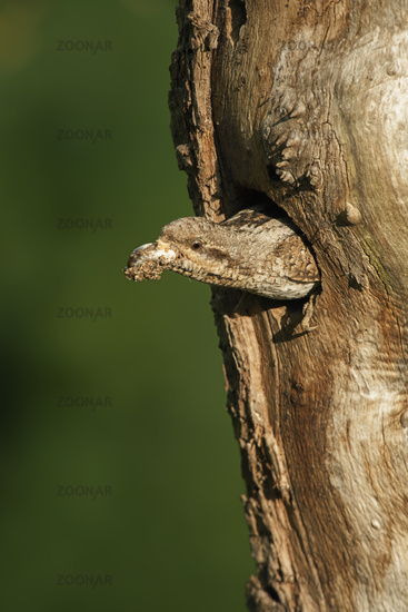 cleaning its nest, carrying out a faecal sac... Eurasian Wryneck *Jynx torquilla*