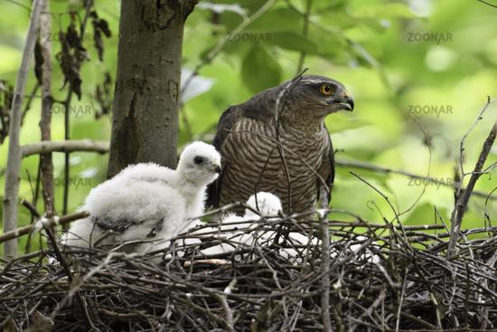 calling... Sparrowhawk *Accipiter nisus*