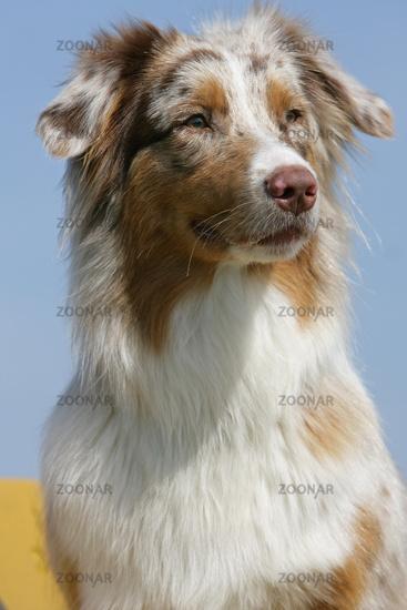 curious Australian shepherd puppy