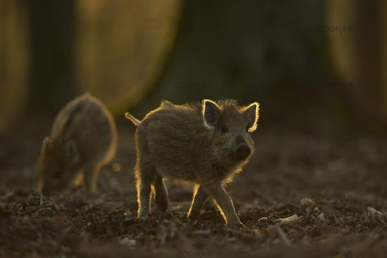 piglets in backlight... Wild Boar *Sus scrofa*