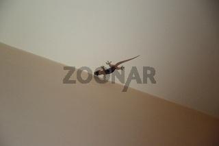 Mauritius, Gecko an der Zimmerdecke
