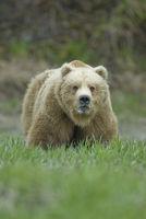 Big Brown Bear showing teeth. McNeil River, Alaska.