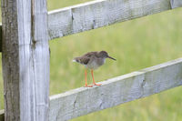 Common redshank bird perched on a wooden fence