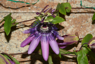 Passiflora violacea; Violette; Passionsblume