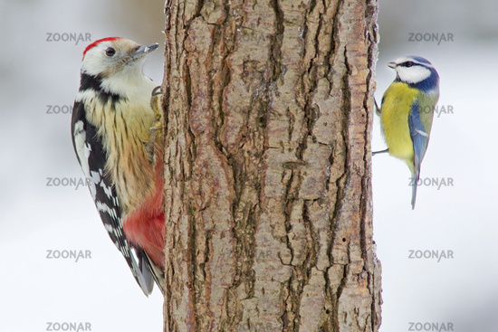 Middle Spotted Woodpecker and Blue Tit (Dendrocopo