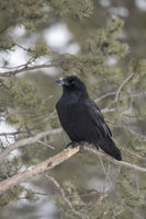 snow covered bill... Common Raven *Corvus corax*