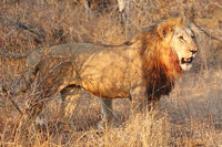 lion in the warm light of the day, South Africa