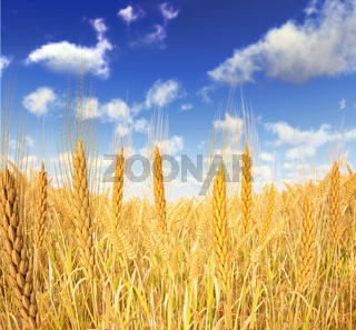Golden Wheat field. A few wheats in foreground and blue sky with fluffy clouds, as background.