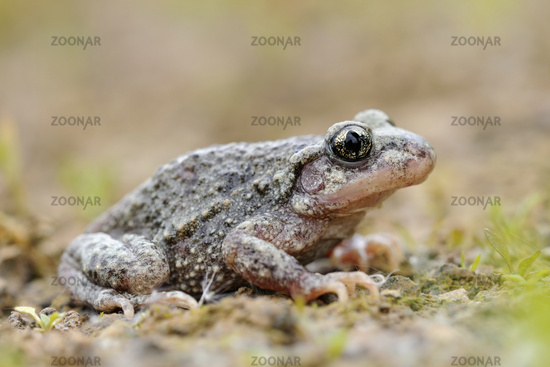vertical pupils... Common Midwife Toad *Alytes obstetricans*