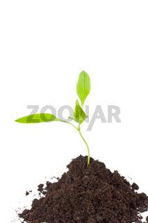 kleine Pflanze isoliert auf Weiß