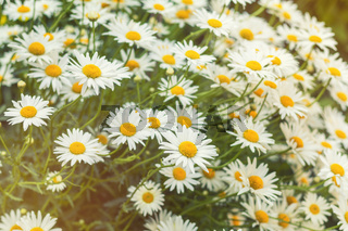 Blooming tender daisies in the summer time in a sunny weather