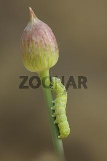 Rundfluegel-Kaetzcheneule (Orthosia cerasi)