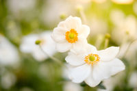 spring flowers in meadow , white flowers