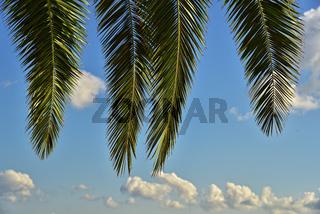 Blick durch Palmwedel