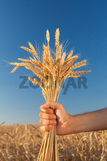 wheat field . harvesting.  harvest in the . ripe
