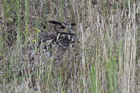 hidden in high grass... Eurasian Eagle Owl *Bubo bubo*, adult with perfect camouflage