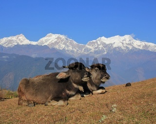 Buffalo babies and snow capped Manaslu