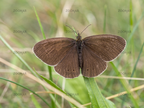 Ringlet in the grass, Aphantopus hyperantus
