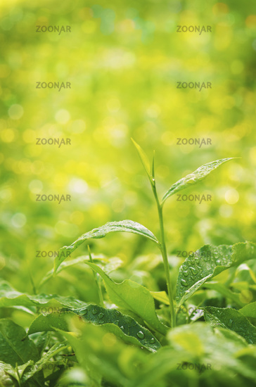 Tea plant close up