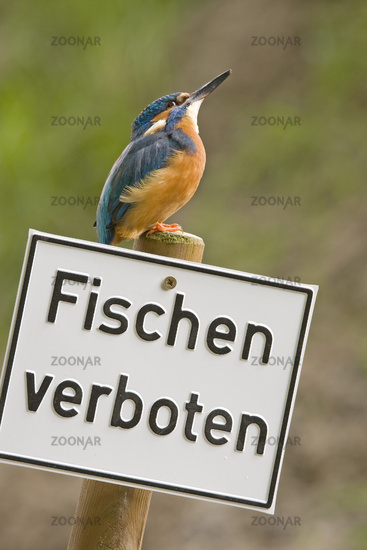 Kingfisher with prohibition sign (Alcedo atthis)