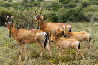 The Family - Red Harte-beest - Alcelaphus buselaphus caama