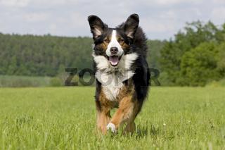 Berner Sennenhund Mix, Mountain dog halfbreed