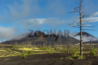 Dead wood - a consequence of a catastrophic release of ash during the eruption of the volcano in 1975 Tolbachik north breakthrough