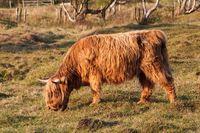 Schottisches Hochlandrind auf Weide in Naturschutzgebiet