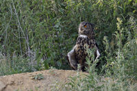 at a warm summer evening... Eurasian Eagle Owl *Bubo bubo*