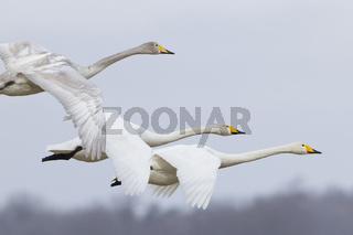 Singschwan, Whooper swan, Cygnus cygnus