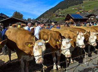 Mitglieder der Jury begutachten Simmentaler Kühe an einer Viehschau, Lauenen, Kanton Bern, Schweiz