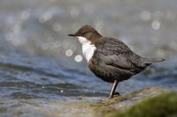 White-throated Dipper * Cinclus cinclus * on a sunny morning
