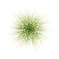 top view of ornamental grass plant isolated on white background