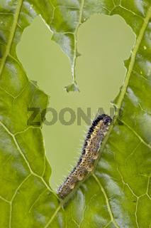 Raupe vom Grossen Kohlweissling (Pieris brassicae)