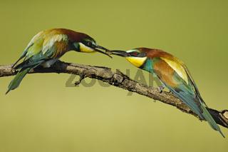 Bienenfresser bei der Balzfuetterung, Merops apiaster,  Bee-eaters at the courtship feeding
