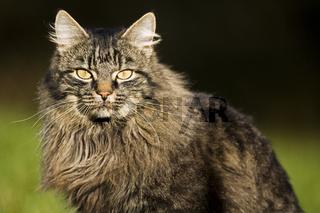 Deutsche Langhaarkatze, deutsch langhaar, german long-haired cat