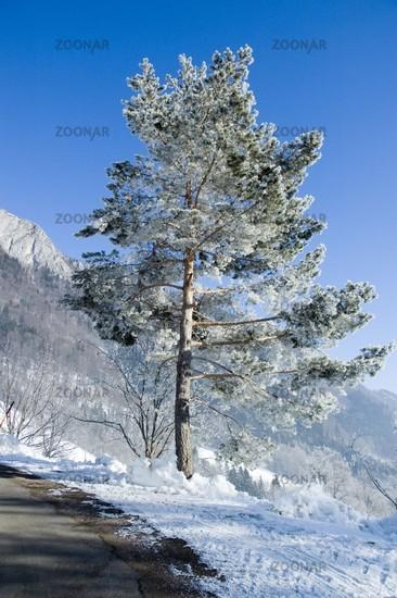Kiefer (Pinus sylvestris) im Winter